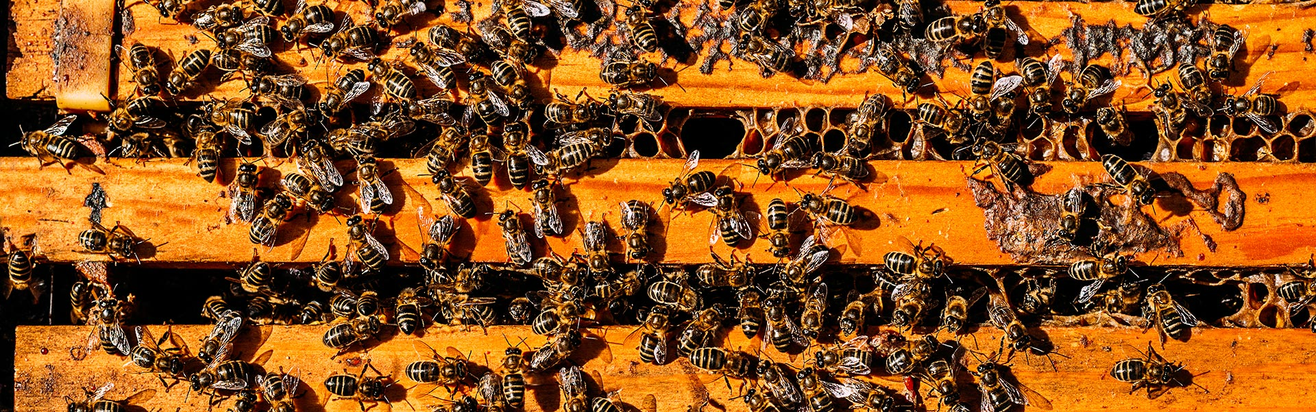 close-up-of-bees-on-honeycomb-TYK3KU7_web
